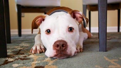 Demande de permis pour les chiens catégorisés