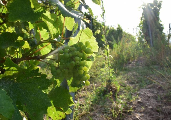 Vue d'une grappe de vin blanc entre les vignes
