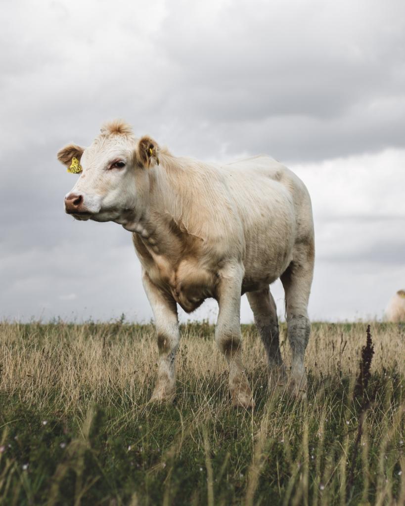 Vache charolaise dans son près sous un temps gris
